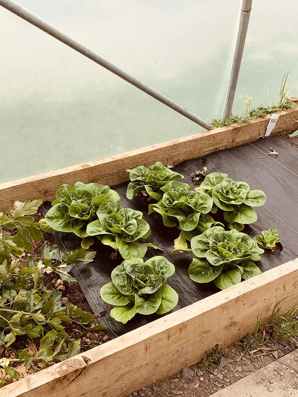 Lettuce_greenhouse